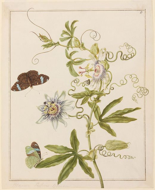 This striking set of hand-painted botanical and  insect prints was produced by Johanna Helena  Herolt, a lesser known member of the 17th c.  German-Dutch Merian family of artists.