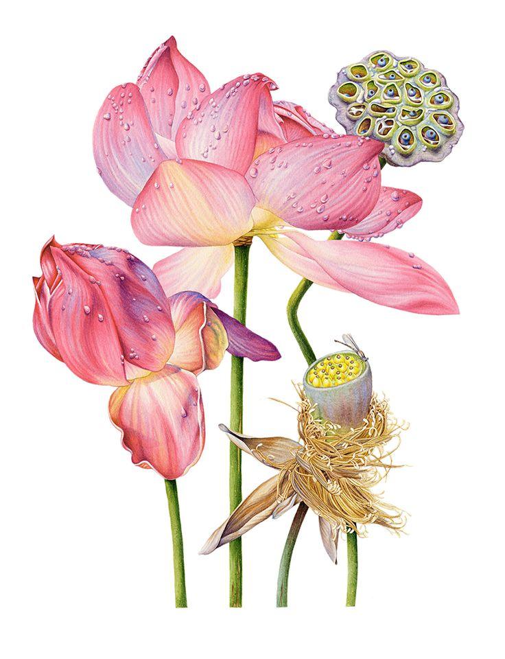 Heidi-WIllis_Botanical-Illustrator_Lotus.jpg (900×1175)