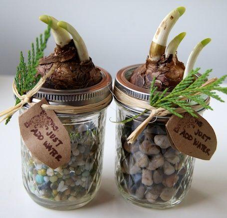 Mason jar for forcing bulbs