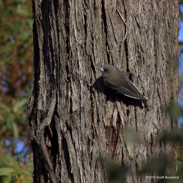 Dusky Woodswallow - Stirling Range, Western Australia - ©2014 Scott Buckland