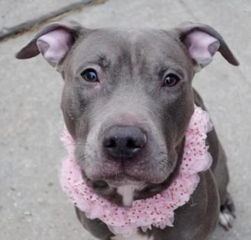 1/7/17 NYC ACC A1100554 Check out Adalyn's profile on AllPaws.com and help her get adopted! Adalyn is an adorable Dog that needs a new home. https://www.allpaws.com/adopt-a-dog/american-pit-bull-terrier/5716990?social_ref=pinterest