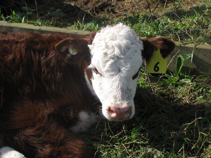 Stella our latest!! this is Marcie's first calf!
