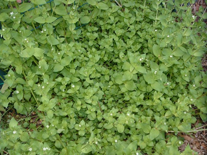 Weeds that heal: Chickweed By Jill Henderson – Show Me Oz – There was a time, not so long ago, when almost every woman in charge of a household sought out the wild plants that we generally refer to as weeds. Ric…