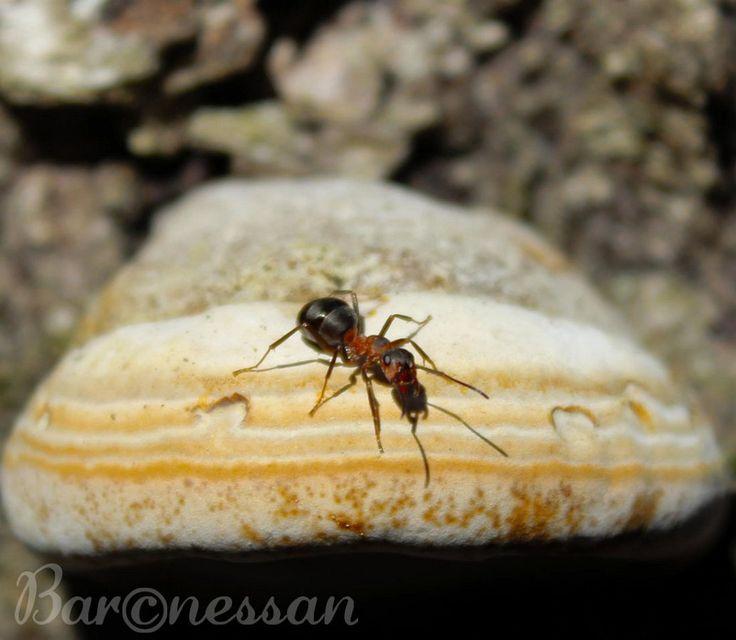 Myra, Ant