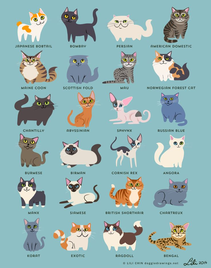 Original illustrations by me (Lili Chin, doggiedrawings.net) featuring 24 cat breeds. As seen at CatConLA and in Modern Cat Magazine.  Japanese Bobtail, Bombay cat, Persian (/Himalayan), American Domestic (Grey Tabby), Maine Coon, Scottish Fold, Mau, Norwegian Forest Cat (Calico), Chantilly, Abyssinian, Sphynx, Russian Blue, Burmese, Birman, Cornish Rex. Angora, Manx (Tuxedo), Siamese, British Shorthair (Orange Tabby), Chartreux, Korat, Exotic, Ragdoll, Bengal.  - Choose from 3 different...