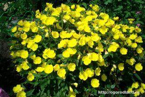 Энотера—это многолетнее растение с крупными, шелковистыми, бокалообразными светло-желтыми цветками, которые раскрываются к вечеру. Энотера желтая хорошо смотрится в букетах. Растение зимостойкое, светолюбивое, но растет и в полутени.