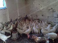 YUMURTALIK TAVUK-CİVCİV-HİNDİ: Ligorin tavuk-beyaz leghorn toptan yumurta tavukları satışı
