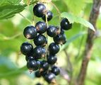 Black currants nutrition facts and health benefits