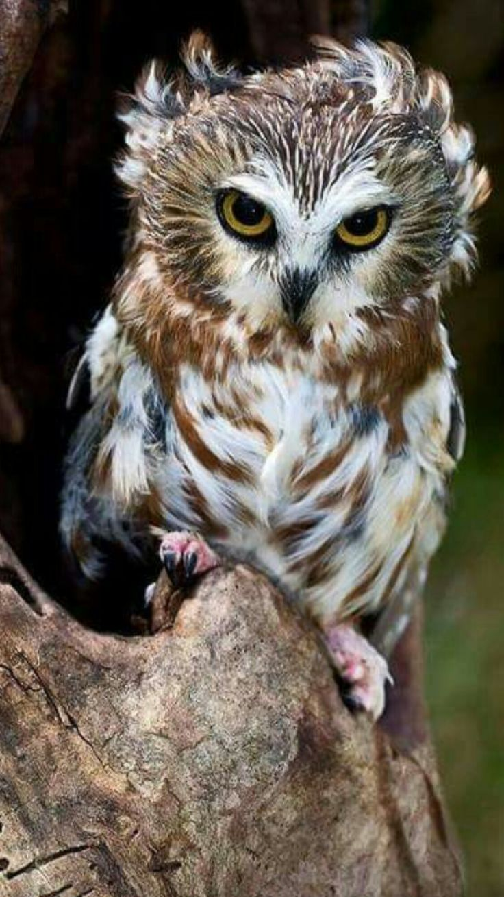 Northern Saw-whet owl (Aegolius acadicus) is a small owl native to North America.