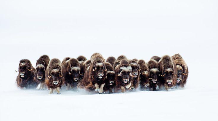 Овцебыки на острове Виктория, Канада