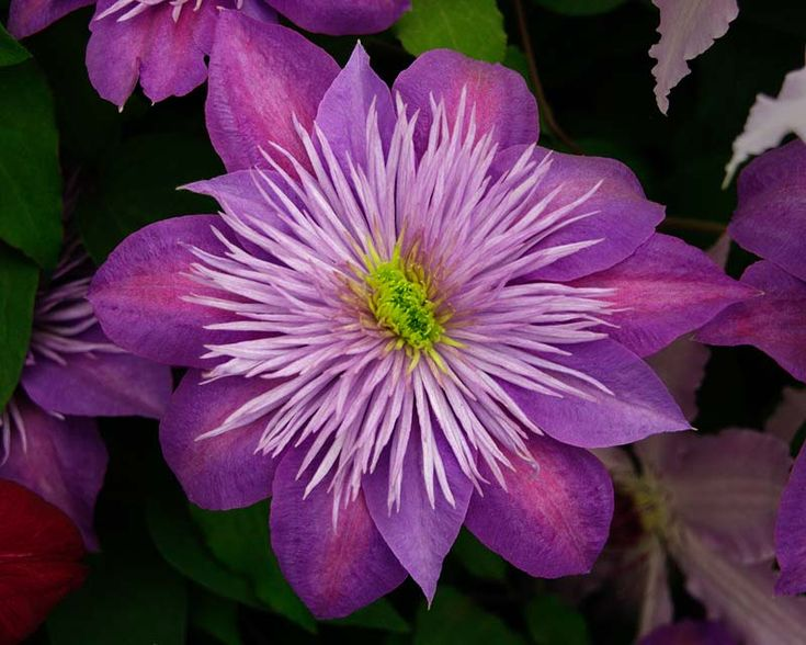 Clematis are perfect for adding colour and charm to an informal garden setting. There are so many hybrids to chose from now - here's a really fancy one is called Crystal Fountain Fairy Blue that have 10cm wide blooms in late spring and again in late summer.