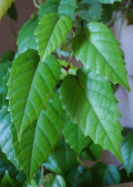Plant Guide - Plants - Grasses - Cissus antarctica