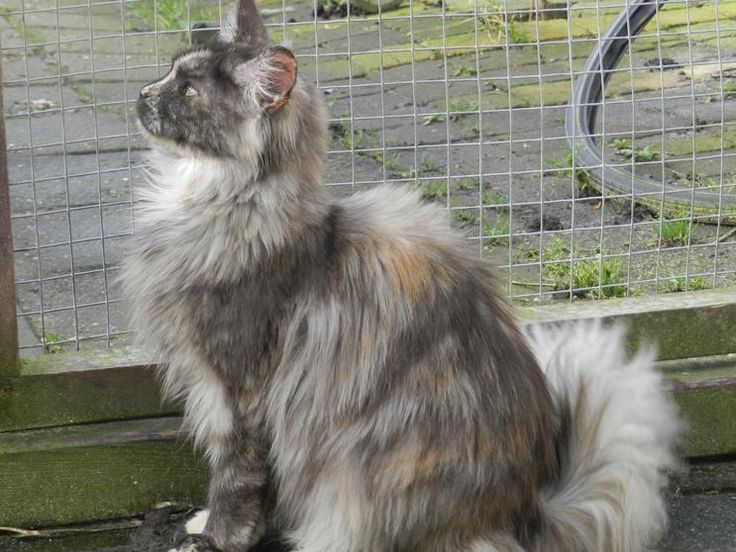 Maine Coon, Black Torti Smoke & white (fs 09). CandyMoons First Kiss