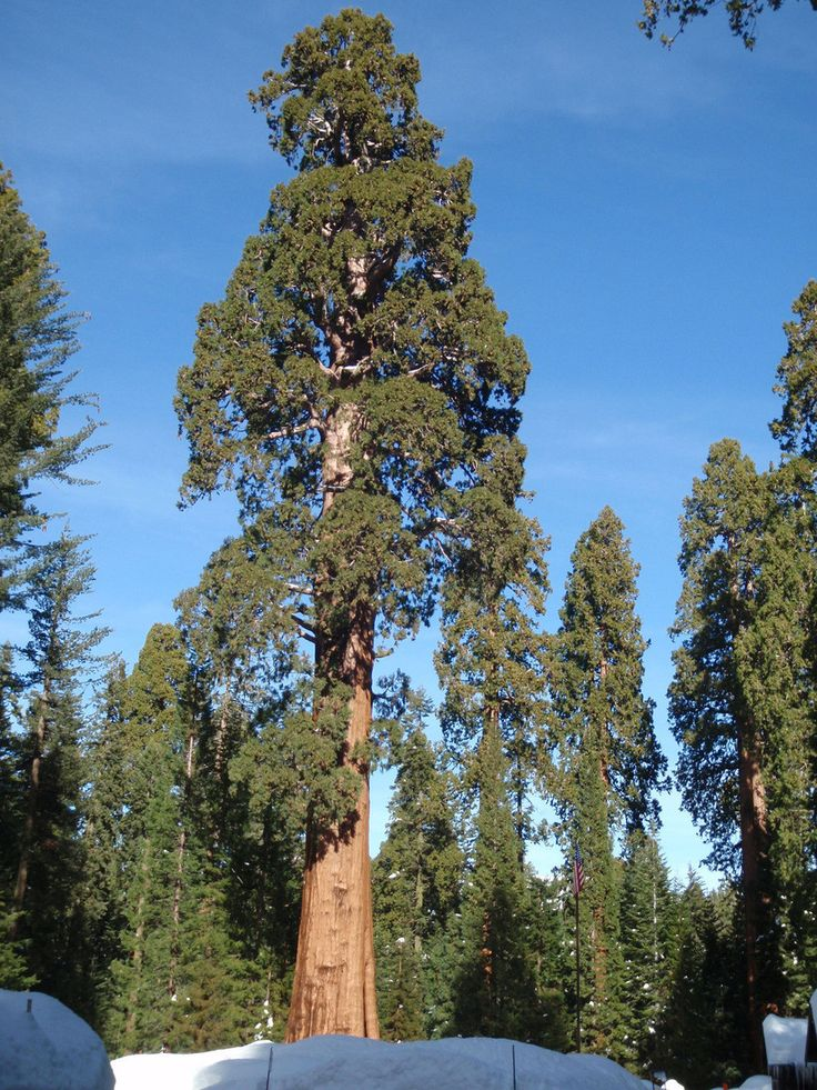 Giant Sequoia Seeds (Sequoiadendron giganteum) + FREE Bonus 6 Variety Seed Pack - a $30 Value!