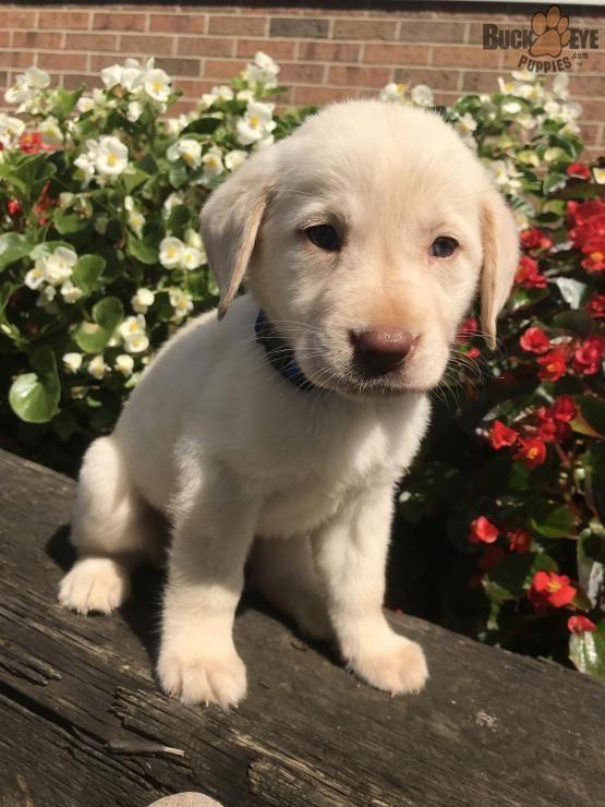 Roxy Labrador Retriever Puppy For Sale In Fredericksburg Oh