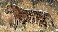 Jaguar, © Arizona Game and Fish Dept.