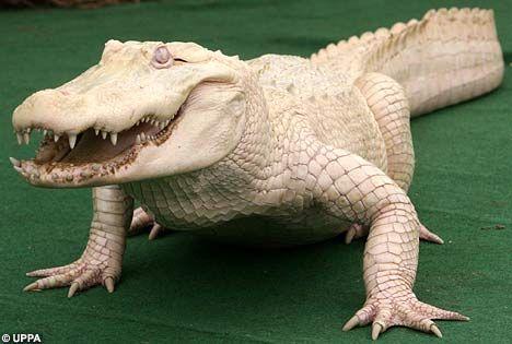 Whitie, the albino alligator