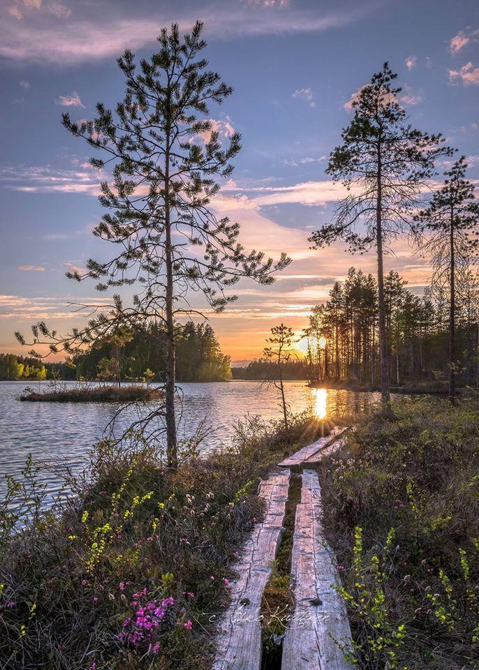 Flowers in the swamp in Finland Suonkukka , Lieksa Änäkäinen 19.5.2016 by Asko…