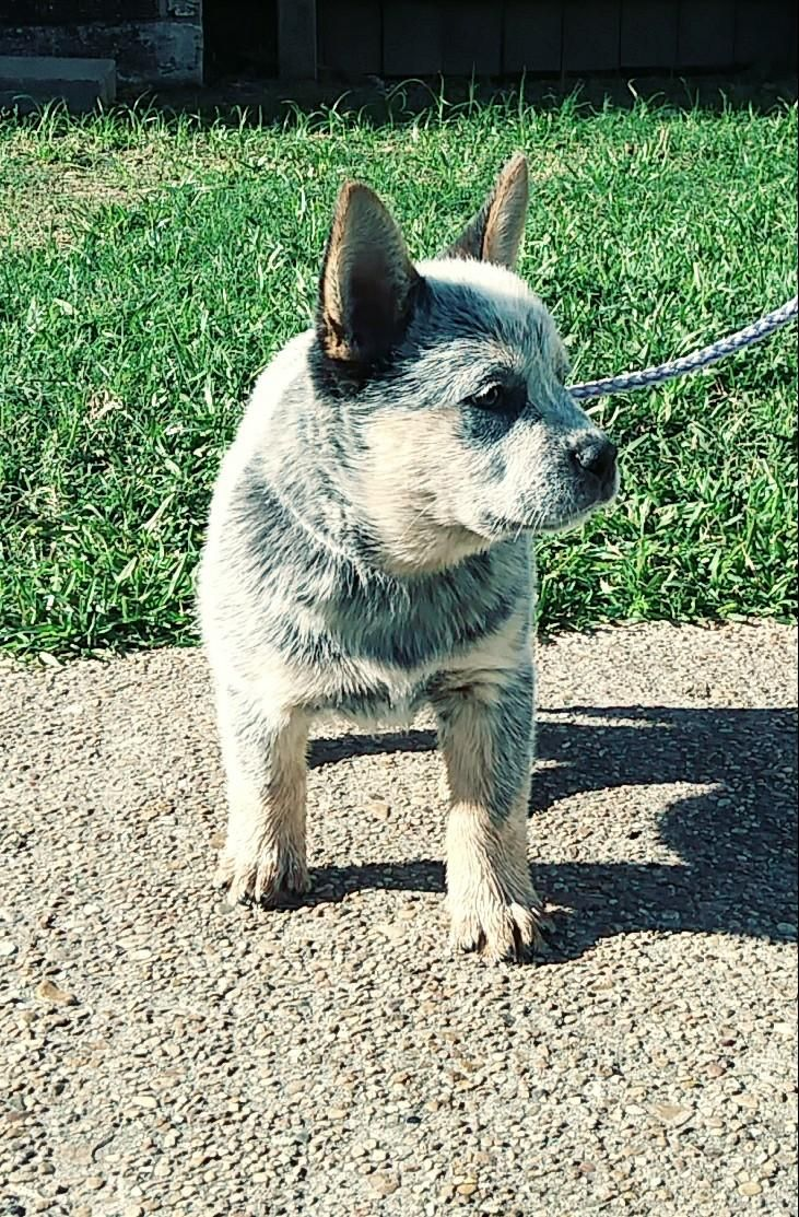 Blue Heeler For Sale Texas Australian Cattle Dog Puppy Blue Heeler Puppies Cattle Dog Puppy Australian Cattle Dog Puppy