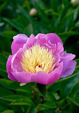 Paeonia lactiflora 'Bowl of Beauty' Pioni Roosa-vaaleakeltainen keskusta. Pion Rosa med ljusgul mitt.