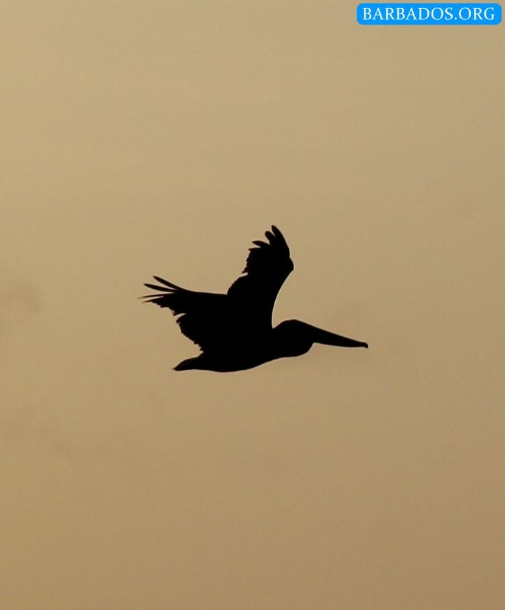 Unusual sighting of a pelican off the west coast of Barbados. We managed to capture it in this sunset silhouette. Did you know that the pelican is featured on our Coat of Arms?