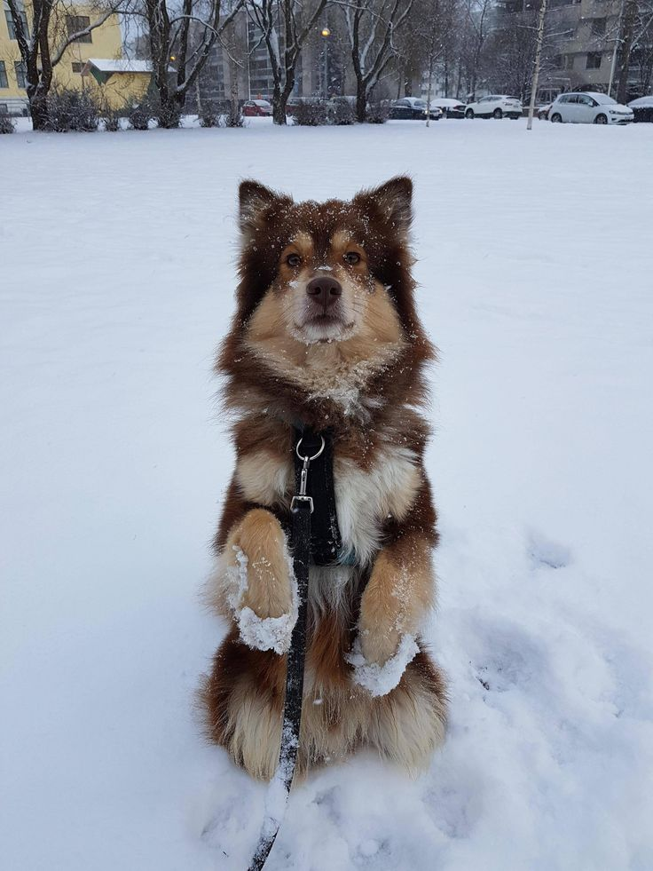 The extremely rare Finnish Snow-Pawed Mongoose!   http://ift.tt/2f6ue0G via /r/dogpictures http://ift.tt/2fPmZxz  #lovabledogsaroundtheworld