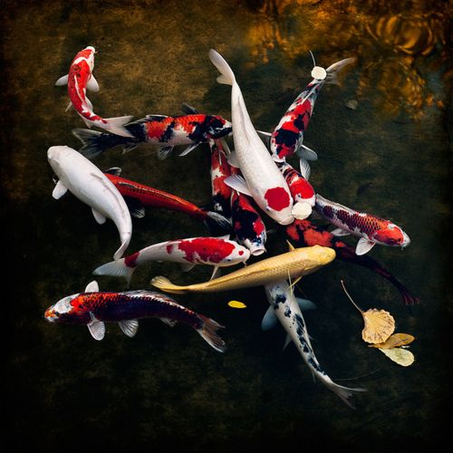 17 best images about koi fish paintings on pinterest for Coy fish painting