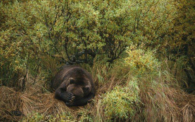 Urso marrom tira um cochilo após pescar no Alasca