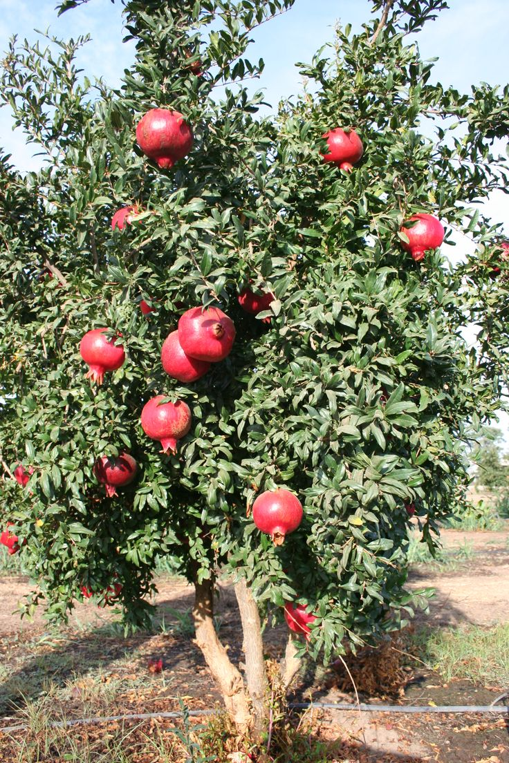 Angel Red® Pomegranate fruit tree. Pomegranate holds 3 times more antioxidants than red wine and green tea - juice reduces plaque, protected from heart failure and strokes.