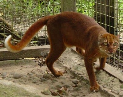Borneo Bay Cat--This species is so rare that the first living cat wasn't even photographed until 1998.
