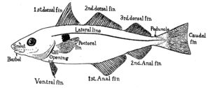 Fish fin - Wikipedia