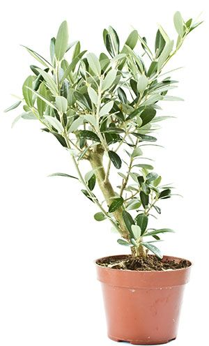 Oliivipuu, öljypuun hoito. Katso oliivipuun hoito-ohjeet ja kasvatusvinkit.