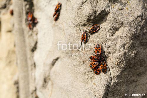 """Pobierz zdjęcie royalty free  """"Firebug (Pyrrhocoris apterus)."""" autorstwa gubernat w najniższej cenie na Fotolia.com. Przeglądaj naszą bazę tanich obrazów online i odnajdź doskonałe zdjęcie stockowe do Twoich projektów reklamowych!"""