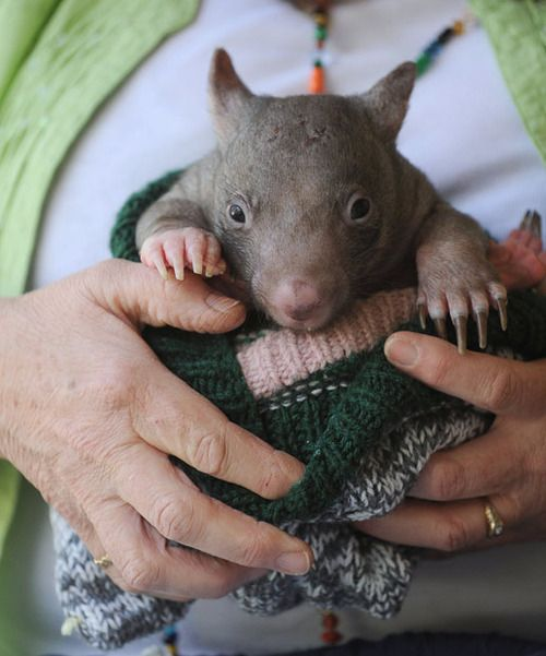 Baby Wombat: 38 Best Images About Australia's Cute Animals: Wombats On
