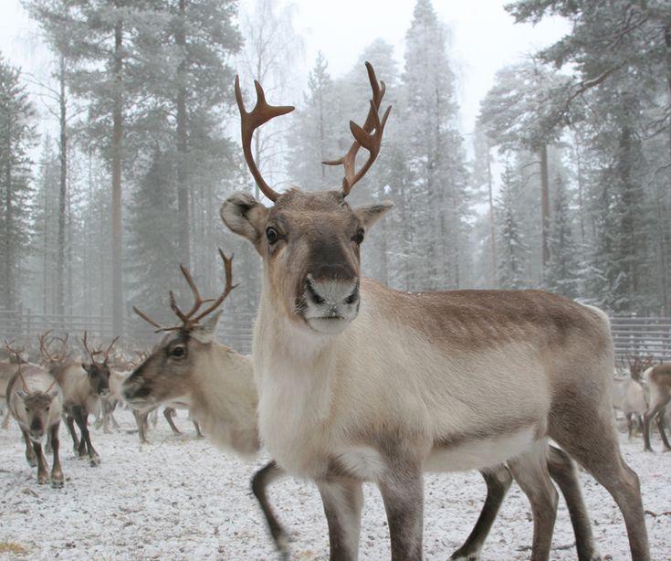 Reindeer. Lapland's symbol.