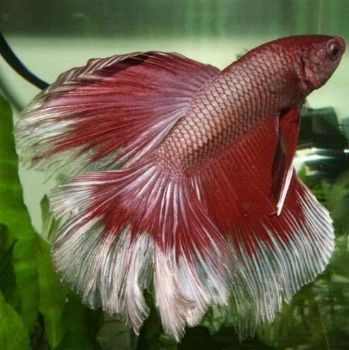 85 best wild kingdom siamese fighting fish aka beta for Cute names for fish