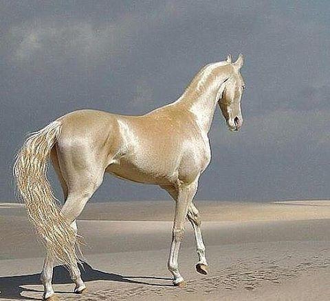 Türkmen atı AHAL TEKE