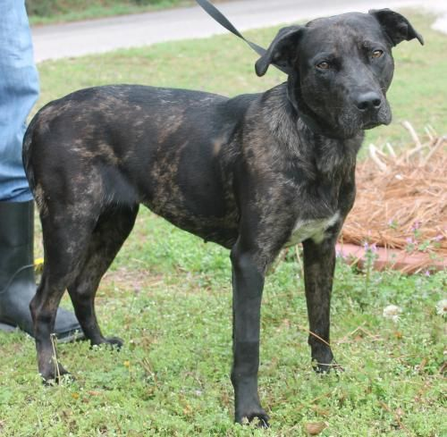 Meet Nova 22049, a Petfinder adoptable Catahoula Leopard Dog Dog   Prattville, AL   Nova is a 1.5-year-old female Catahoula/Lab mix who has already been spayed. For lack of a better...