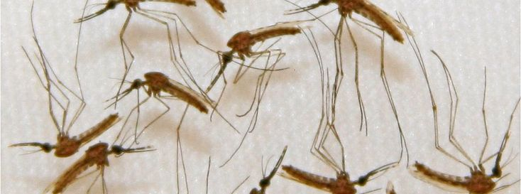 """Mit Malariaerreger infizierte Mücken (in einem US-Labor): """"Rennen gegen die Zeit"""""""