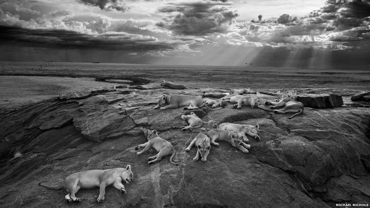 A foto do americano Michael Nichols, mostrando um grupo de leoas descansando num rochedo no Parque Nacional do Serengeti, na Tanzânia, foi a vencedora geral e na categoria preto e branco do prêmio Wildlife Photographer of the Year, em sua edição de 2014. (Foto: Michael Nichols/Wildlife Photographer of the Year 2014)