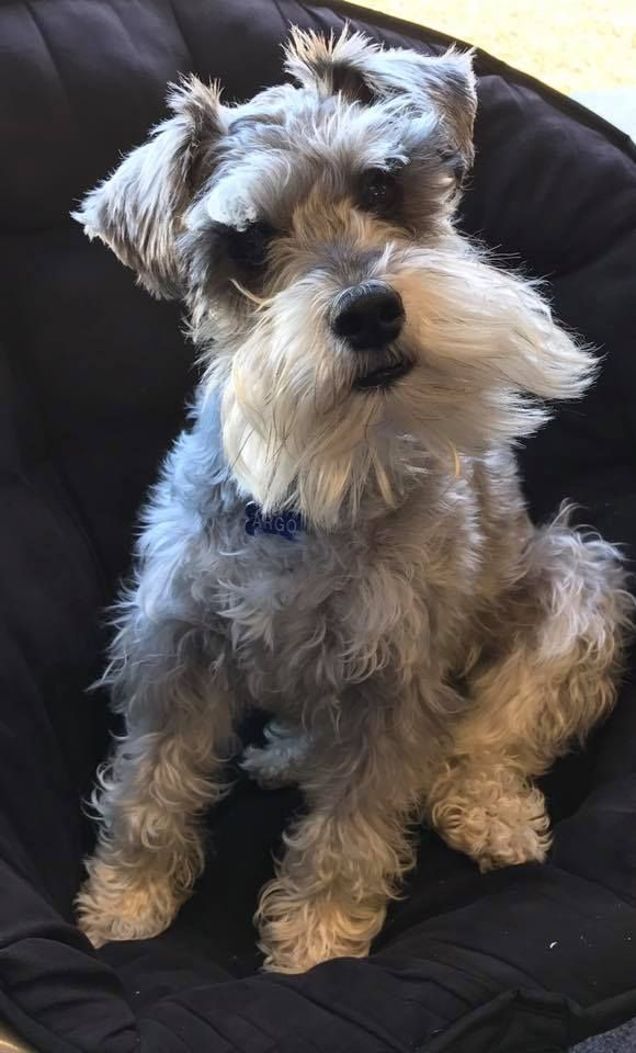 Best dog EVER! My first schnauzer Argo. Love him - North Carolina