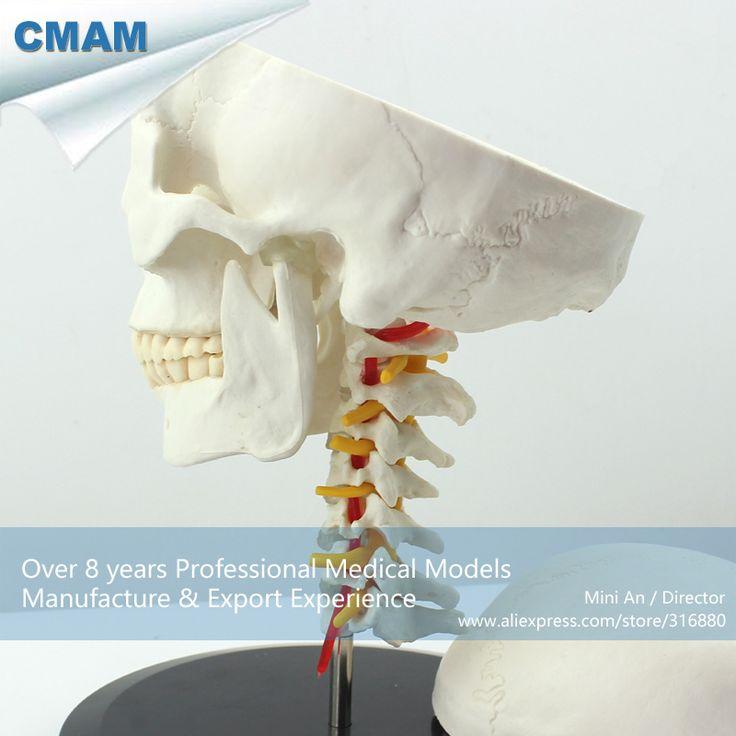 CMAM-SKULL06 Human Skull on Cervical Vertebrae/Spine Anatomical Model,  Medical Science Educational Teaching Anatomical Models #Affiliate