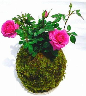 Miniature Rose Kokedama