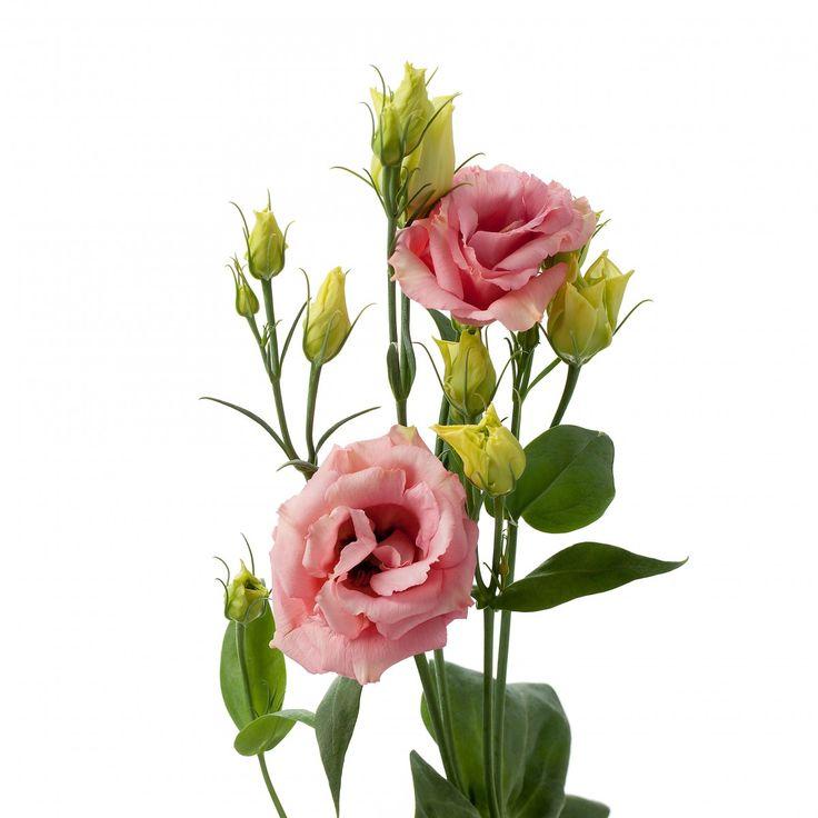 Evanthia Seeds&Plants  Lisianthus Stand Alone Peach revelation.