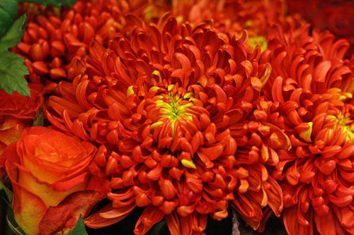 Chrysanthemum Tom Pearce http://holmsundsblommor.blogspot.se/2014/10/ett-snitt-av-vart-snitt.html