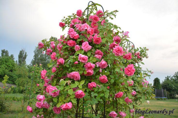 Róże pnące - Zephirine Drouhin