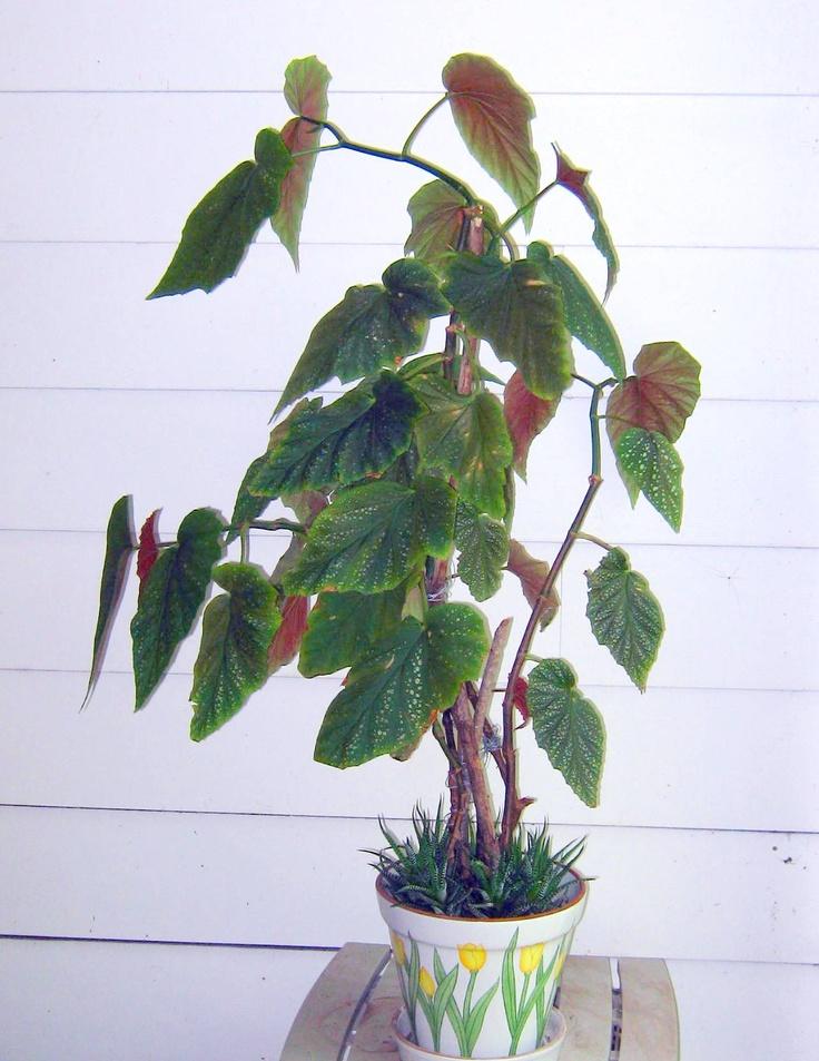 Elephant ear begonia non toxic house plants cat safe for Large non toxic house plants