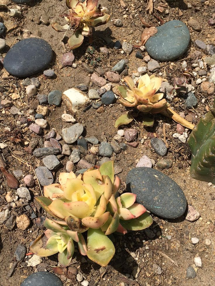 25 best ideas about identifying succulents on pinterest for How much sunlight do succulents need
