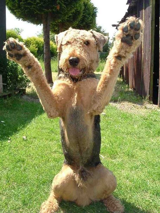 1302 best images about Airedales on Pinterest  Westminster dog show, Airedale terrier and Irish