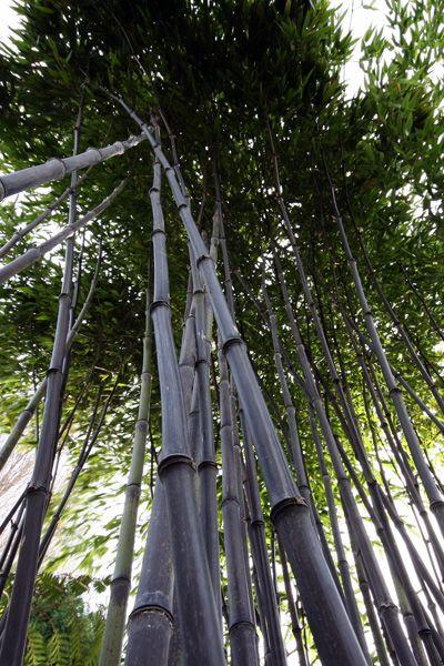 Bamboo Botanicals - Phyllostachys nigra (Black Bamboo)
